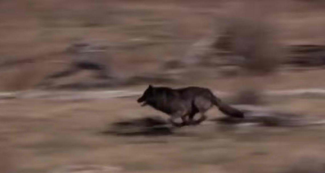 הם שיחררו 14 זאבים באמצע פארק לאומי – אז קרה משהו שאף אחד אפילו לא חלם עליו