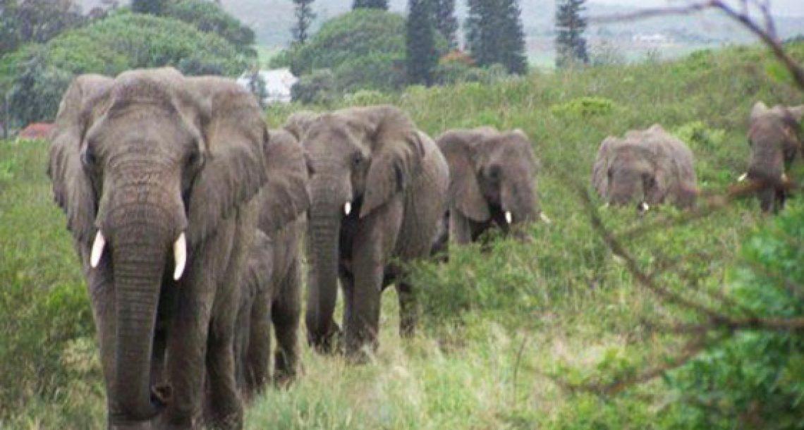כאשר האיש שהציל ושיקם פילים הלך לעולמו, שני עדרים של פילים עשו משהו שהדהים את כל העולם!